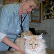 Egy nagyon kedves Maine Coon cica vizsgálata közben